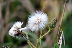 Dandelion (alpenfrankie) Tags: canon eos 1100d nature ywt pottericcarr dandelion