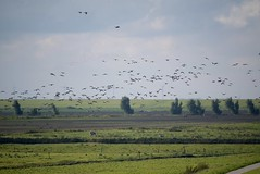 ...ab in den Sden.... (a-r-a-55) Tags: animals birds ostfriesland tiere vgel