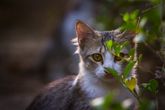I'm hiding (alvinpurexphotography) Tags: cat wildlife wildcat corniche cornichgrapher cute pet animals