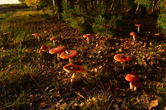 Amanita muscaria (ChemiQ81) Tags: amanita muscaria muchomor czerwony jura jurassic jurajskim szlakiem trails polska poland polen polish polsko chemiq  poljska polonia lengyelorszgban  polanya polija lenkija  plland pholainn   pologne puola poola pollando    vpencov lom jesie autumn podzim las forest park krajobrazowy stawki smykw przyrw grzyby mushrooms grzyb mushroom muchomrka erven