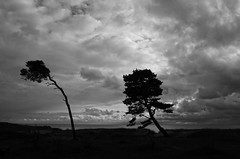 Wind shaped trees (Timmy_L) Tags: ystad tree landscape blackandwhite blackwhite bw clouds nature sweden
