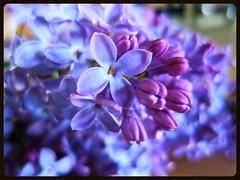 Lilas (Doonia31) Tags: lilas fleurs plante vgtal nature ptales violet mauve printemps macro flou