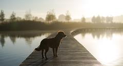 morning walk (Jan-Jacob Luijendijk) Tags: toller duck tolling retriever barendrecht nederland nikon d600 58mm f14