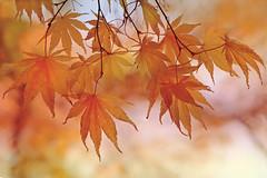 Autumn Maple (lfeng1014) Tags: autumnmaple autumncolours autumnleaves britishcolumbia victoria butchartgardens fallcolours fallenleaves canon5dmarkiii 70200mmf28lisii depthoffield dof macrophotography closeup bokeh lifeng