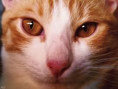アラちゃん⑦ (akaibuutsu) Tags: cat gato macro closeup cerca cute adorable dormido asleep brown marrón eyes ojos nariz nose cama bed