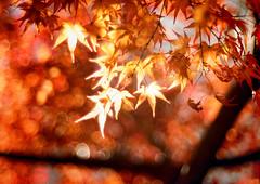 (Photographie. ) Tags: m42 blur meyeroptik primoplan f19 bokeh rable japon tree arbre automne light feuille flou nikon d810 orange macro 58mm lumiere lens sliderssunday autumn or nikond810