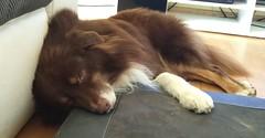 Balou sleeping after his walk (GuinTheReal) Tags: niedersachsen dogs hund hunde kw472016 wursternordseeküste deutschland de