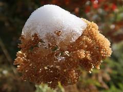 1 Sign of Transition (Mertonian) Tags: snow transitions weed betweenseasons cold fall autumn seasons winter canon powershot g7x mark ii canonpowershotg7xmarkii mertonian robertcowlishaw cap golden nature awe wonder ineffable