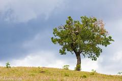 Nature (Andre Zuin) Tags: nature natureza naturaleza arvore arvores trees sky ceu cloud cerrado goias brasil brazil travel viagem landscapes paisagens