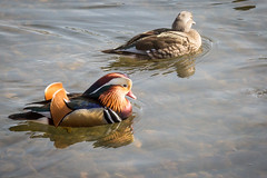 Mandarin Ducks (Couple) (RGaenssler) Tags: entenvgel schwimmenten enten anatinae cairina gnsevgel mandarinente tiere wirbeltiere vgel aix floraundfauna aixgalericulata anatidae anatini anseriformes aves canardmandarin mandarinduck