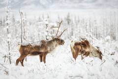 Oh my God, Becky (frostnip907) Tags: caribou wildlife alaska nature winter arctic subarctic reindeer