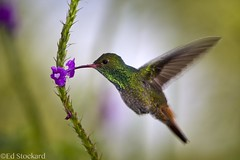 Rufous-tailed Hummer (Ed.Stockard) Tags: arenal costarica hummingbird bird flight feeding