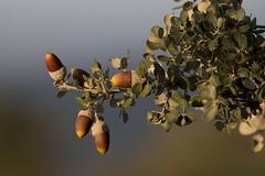 Montanera (ramosblancor) Tags: naturaleza nature plantas plants árboles trees encina holmoak quercusilex bellota acorn hojas leaves montanera otoño autumn fall madrid