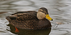 American Black Duck 120616 (SteveJnerChicago) Tags: americanblackduck duck bird nature wildlife chicago illinois