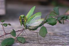 Mante religieuse (◄Laurent Moulin photographie►) Tags: mante religieuse parade de defense mantis praying sauvage verte ailes macro dreams attaque