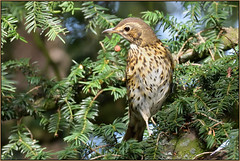 Song Thrush (image 2 of 4) (Full Moon Images) Tags: rspb sandy lodge thelodge wildlife nature reserve bedfordshire yew tree berry bird song thrush