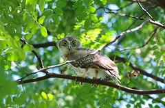 Barking Owl (flickr quickr) Tags: ninoxconnivens barkingowl