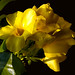 Golden+Trumpet+%28Allamanda+cathartica%29%2C+taken+in+my+garden