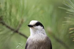 In the pines (Seventh day photography.ca) Tags: greyjay whiskyjack animal bird wildlife wildanimal ontario canada summer