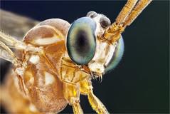 Netelia testaceus, Ichneumonidae, Hymenoptera (dorolpi) Tags: