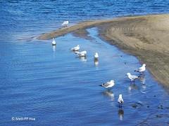 96. GULLS: Of Glenelg Beach (www.YouTube.com/PhotographyPassions) Tags: animals birds gulls seagulls water sea ocean beach seaside marine bird waterbirds waterfowl adelaide mlpphfauna mlpphanimals