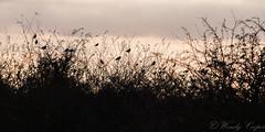 Fieldfare-0682 (WendyCoops224) Tags: 100400mml 70d burwellfen canon eos ©wendycooper fieldfare silhouete