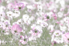 Scene of autumn (Colorful-wind) Tags: autumn color nature flower 2016 fall fujifilm light plant colorful lightandshadow pink xt1 fukuoka colors park cosmos japan white