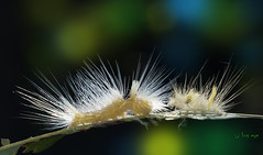 Moulting ! (bug eye :) Thailand) Tags: nature natural macro closeup insect caterpillar worm forest white chiangmai thailand bugeye