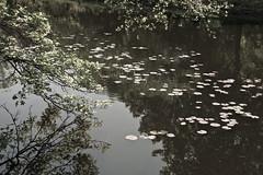 Water Lilies on the River, Boston (Sharon Mollerus) Tags: boston charlesriver places xss massachusetts unitedstates cfp16