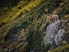 Young Chamois at Sunset (Claudio Cantonetti) Tags: nikon abruzzo claudiocantonetti claudiocantonetticom lazio light molise nature nazionale parco photography pna chamois wildlife young 3 animal mammal sunset