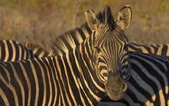 Stripes At Sunrise (philnewton928) Tags: burchellszebra zebra zebras mammal animal animalplanet wild wildlife nature natural mopani kruger krugernationalpark africa southafrica outdoor outdoors safari stripes goldenhour sunrise nikon nikond7200 d7200