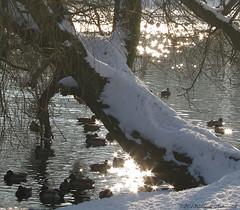 Tervuren.Belgium (Natali Antonovich) Tags: tervuren belgium belgie belgique winter snow frost nature park birds christmasholidays christmas tree water