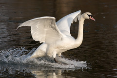 untitled (robwiddowson) Tags: swan bird birds flying flight landing animal animals wildlfie nature natural robertwiddowson photo photograph photography image picture