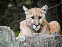 Intense Mountain Lion (Wendy Oor) Tags: animal animals cats lions mountainlion eyes yellow nature zoo