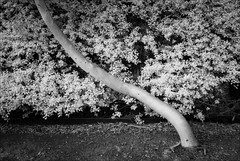 boronia-2184-ps-w (pw-pix) Tags: tree trunk bent leaning curved fence hedge leaves leafy dirt mulch leaflitter eucalypt pittosporum commercial retail macdonalds macdonaldscarpark evening ir infrared bw blackandwhite irmodifiednikon1v1 720nmir chandlerroad boronia easternsuburbs outereast melbourne victoria australia