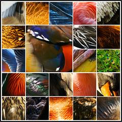 homage to plumage (lunaryuna) Tags: feathers plumage collage photomosaic birds colours shape lunaryuna
