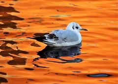 On golden pond (dlanor smada) Tags: water aylesbury bucks birds gulls golden gold ref