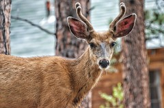 Morning cabin visitor (Pejasar) Tags: deer young male antlers brown cabin mammal rockymountainnationalpark cascadecottages colorado