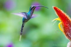 Green Hermit Hummingbird-0565 (Phaethornis guy) (dennis.zaebst) Tags: birds costarica centralamerica hummingbird greenhermithummingbird ngc naturethroughthelens npc coth5