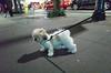 Johnny, Maltese/Shih Tzu (Charley Lhasa) Tags: ricohgrii grii 183mm 28mm35mmequivalent iso12800 ¹⁄₆₀secatf28 0ev aperturepriority pattern noflash r010683 dng uncropped taken161126190634 uploaded161202232546 2stars flagged adobelightroomcc20157 lightroomcc20157 adobelightroom lightroom johnny 1 maltese shihtzu malshi dogs dogsmet sidewalk walk night evening upperwestside uws manhattan newyorkcity nyc newyork ny tumblr161202 httpstmblrcozpjiby2fpeons