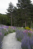 Purple Pathway (Maree A Reveley Photography) Tags: laketekapo lupin lupins mackenzie canterburynz nz newzealand canterbury laketekaponz mackenzienz mareeareveleyphotography mareeareveley