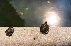 Two Baby Tortoises (norsez {Thx for 13 million views!}) Tags: film analog bokeh f14 filmcamera pushed2stops fuji100 analogslr minoltaxd analogfilm rokkormd50mm