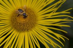 Royal Botanic Gardens (shawn~white) Tags: plant flower macro insect scotland edinburgh unitedkingdom bokeh bee royalbotanicgardens extensiontube pollination shawnwhite canon6d shawnraisindp