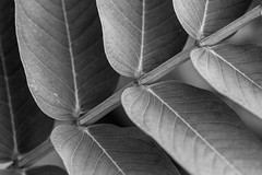 Diagonal (Elizabeth_211) Tags: blackandwhite bw macro nature monochrome leaves tennessee 100mm jacksontn 70d westtn utgardensjackson sherielizabeth