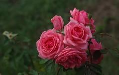 Les roses refleurissent (mamietherese1) Tags: world100f flowersarefabulous exquisiteflowers earthmarvels50earthfaves phvalue macrodreams 200v200c2000v sublimerose