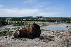 Bison on Old Faithfull area - Yellowstone (locklan78) Tags: old inn yellowstone bison faithfull