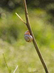 Vertical Climbing (klic_ros) Tags: autumn naturaleza macro nature country snail otoño caracol canon600d tamron90vcmacro