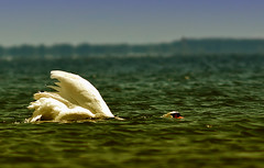 I am a submarine! (wimvandemeerendonk, back home) Tags: lake ontario canada bird birds this swan brighton minolta outdoor apo 200 wetlands abigfave 5074faves wimvandem