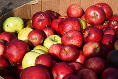 Cider Apples at the Community Garden