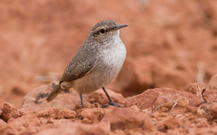 Rock Wren (Salpinctes obsoletus) (George Wilkinson) Tags: rock utah arches wren np salpinctes obsoletus